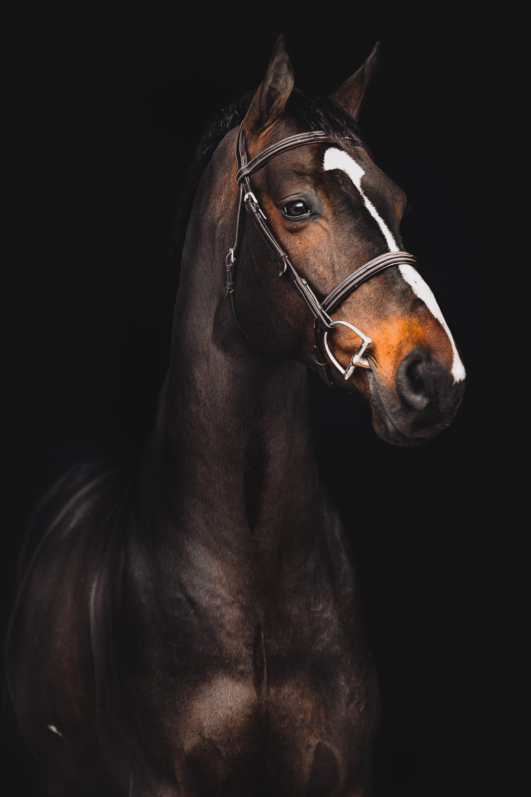 black background equine
